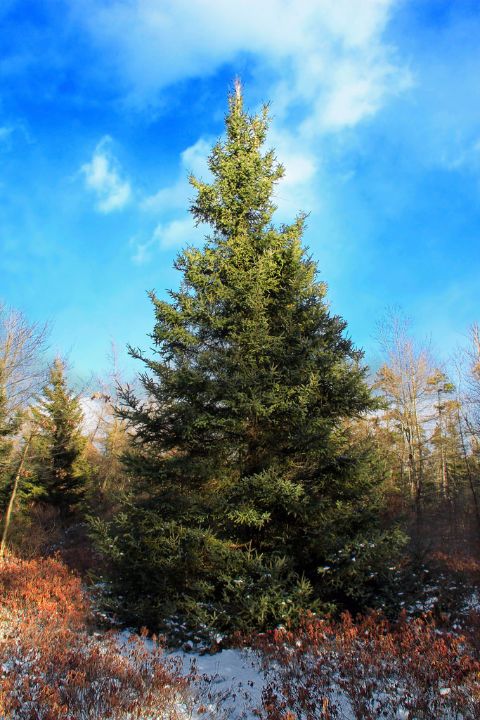 Balsam Fir Tree