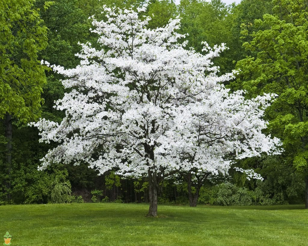 Flowering Dogwood Tree