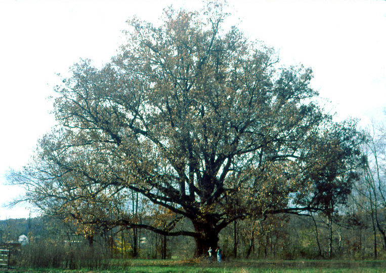 White Oak Tree
