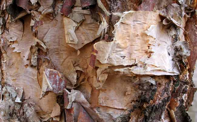 birch bark fire tinder