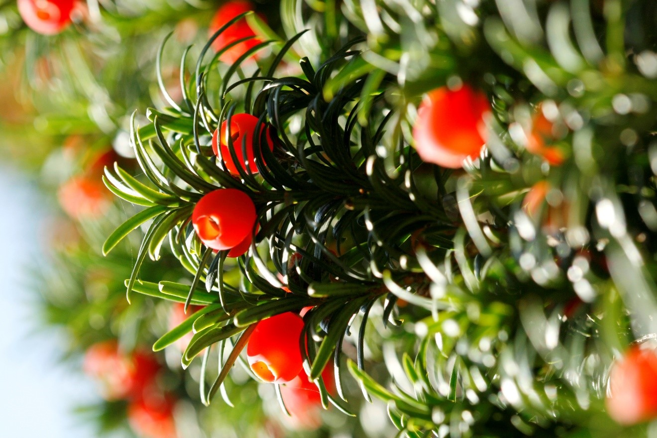 poisonous yew